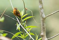 Cinnamon flycatcher, Pyrrhomyias cinnamomeus. Tandayapa Valley, Ecuador