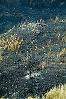 Aftermath of forest fires of July 2012 destroyed and burnt Pine trees in the volcanic landscape. Moun Teide national park.Tenerife, Canary islands, Spain,