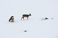 Two roe deer in the snow