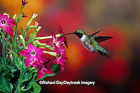 01162-080.15 Ruby-throated Hummingbird (Archilochus colubris) male at Hummingbird Rose Pink Nicotiana (Nicotiana alata)  IL