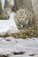 Bobcat in the snow - CA