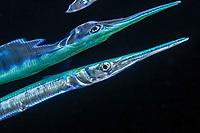 Needlefish,family Belonidae, Long Tom, Eilat, Red Sea, Israel
