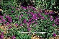 "63821-05419  Verbena Canadensis ""Homestead Purple""  Marion Co.  IL"