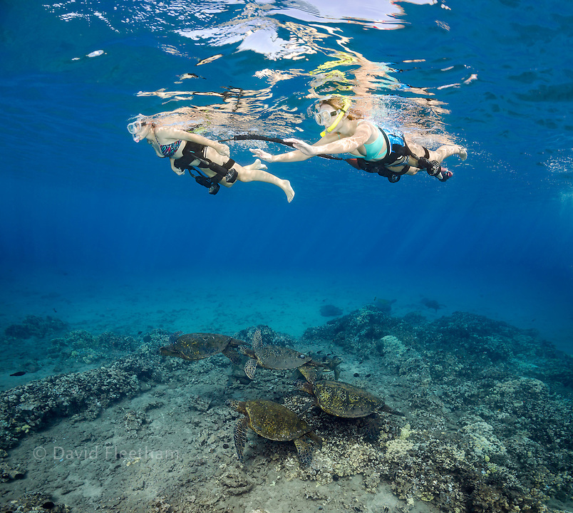 Two girls free diving with custom propulsion belts and green sea turtles, Chelonia mydas, an endangered species, Hawaii.
