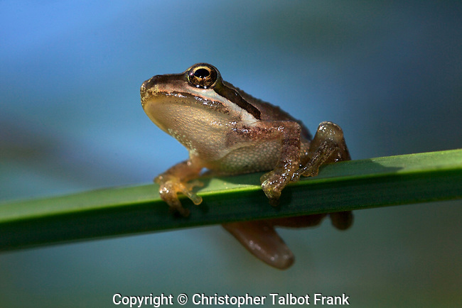USA; California; San Diego; A Baby Tree Frog in Mission Trails Regional Park in San Diego
