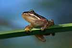 USA; California; San Diego; A Baby Tree Frog in Mission Trails Regional Park in San Diego