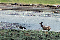 Deadly confrontation between wolf and elk. What a story! Great work :)