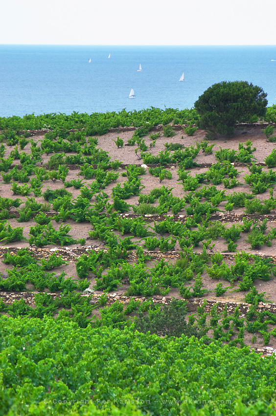 Domaine la Tour Vieille. Collioure. Roussillon. The vineyard. France. Europe. Vineyard.