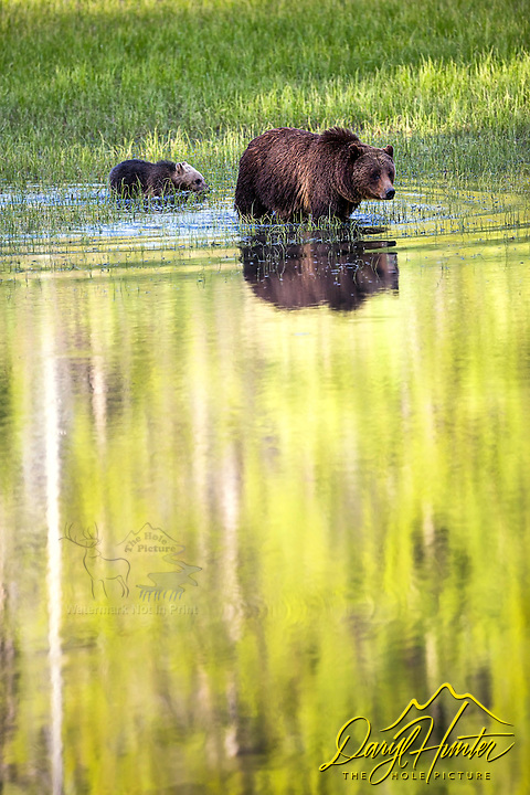 Aspen and grizzly bear reflection in Grand Teton National Park.  This is the famous Grizzly 399 and her 2016 cub Snow. Just before someone turned the lights out for the evening these bears I had been watching for about an hour finally moved to the pond I had been urging the toward :)
