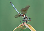 Dragonfly, Blue Dasher, Pachydiplax longipennis