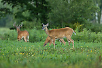 White-tailed deer foraging in a field