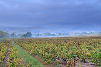 France, Rhône (69), région du Beaujolais, Saint-Étienne-la-Varenne, le vignoble en automne // France, Rhone, Beaujolais region, Saint Etienne la Varenne, the vineyards in autumn