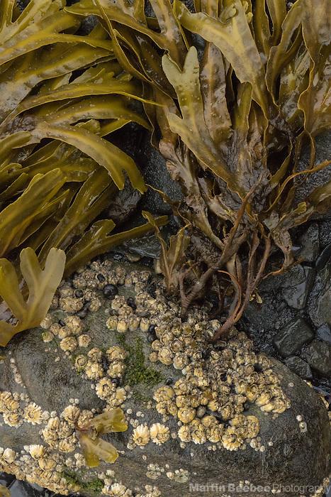 Seaweed and barnacles on the shore of Seward, Alaska