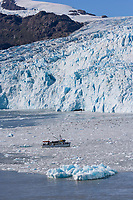 MV Discovery and harbor seals (the tiny dark spots on the floating icebergs ) in front of Chenega glacier, Prince William Sound, Alaska.