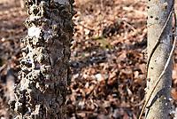 NWA Democrat-Gazette/FLIP PUTTHOFF<br />A hackberry tree (left) has      Feb. 17 2018      rough, knobby bark.