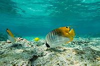 threadfin butterflyfish or kikakapu, Chaetodon auriga, Kahaluu Beach Park, Kona, Hawaii ( Big Island ), Hawaiian Islands ( Central Pacific Ocean )