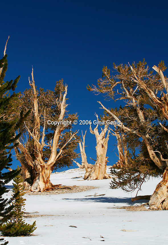 Bristlecone pine trees after a light snow in the White Mountains of California