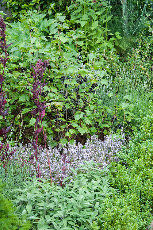 """Sage, thyme and box in front of blackcurrant. Commumity Allotment section of """"Urban Oasis"""" show garden, designed by Chris Beardshaw, Hampton Court Flower Show 2012."""