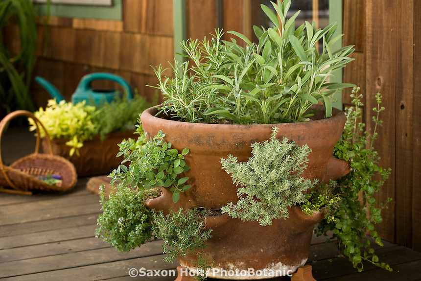 Strawberry pot container of herbs on deck by kitchen door in backyard garden; sage, rosemary, oregano, thyme