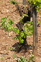 An old Syrah vine with shoots at the base of the vine (pampres). These shoots have to be removed manually.  In the vineyard Le Pavillon of M Chapoutier on the Hermitage hill, sandy and pebbly soil.   Domaine M Chapoutier, Tain l'Hermitage, Drome Drôme, France Europe