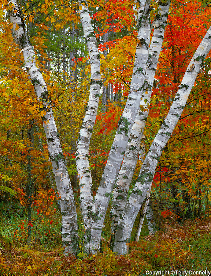 Pillsbury State Park, MN<br /> Trunks of White Birch (Betula papyrifera) at the margin of a fall hardwood forest - near Rock Lake