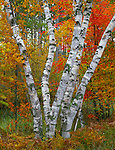 Pillsbury State Park, MN<br /> Trunks of White Birch (Betula papyrifera) at the margin of a fall hardwood forest - near Rock Lake