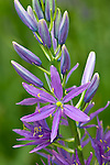 Vashon Island, Washington<br /> Common camas (Camassia quamash)