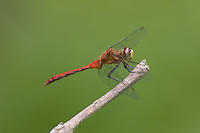 Cherry-faced/Jane's Meadowhawk (Sympetrum sp.) Dragonfly - Male, Wallkill National Wildlife Refuge, Sussex, Sussex County, New Jersey