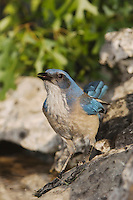 Western Scrub-Jay,  Aphelocoma californica, adult drinking from spring fed pond, Uvalde County, Hill Country, Texas, USA, April 2006