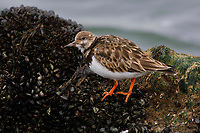 Adult Ruddy Turnstone (Arenaria interpres) in basic (winter) plumage foraging on mussels. Ocean County, New Jersey. February.