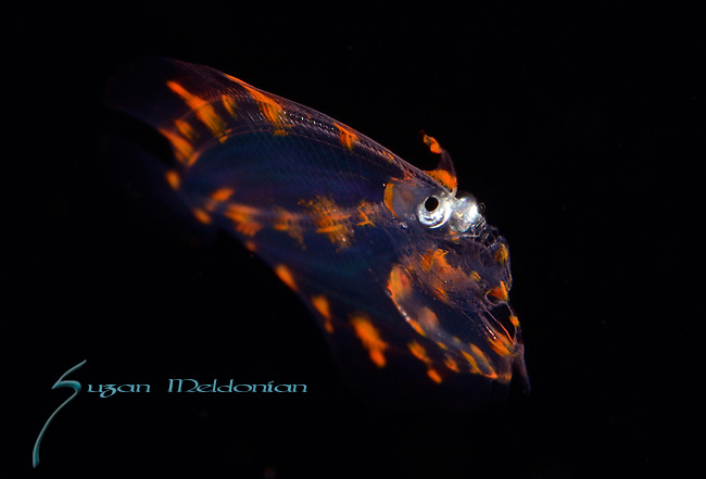 Flounder larva ID , 3P's Black Water Diving, Romblon, Philippines, Dream Tour 2018