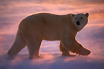 A polar bear walks across a snowfield, as the sunset tints the blowing snow pink in Canada.
