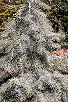 White Fir tree evergreen Abies concolor 'Candicans'