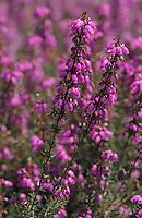 Europe/France/Aquitaine/33/Gironde/Bassin d'Arcachon: Bruyère en fleur dans la forêt du Pilat