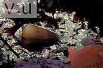 California Cone Snail ,Conus californicus,
