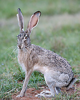 Jackrabbit in Texas