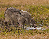 Wolves (Canis lupus) are highly social animals and live in packs. In Yellowstone, packs contain from 3 to 14 individuals, with some occasionally having twice that number. Pack size varies based on the size of its main prey. The pack is a complex social family, with leaders (the alpha male and alpha female) and subordi&not;nates, each having individual personality traits and roles in the pack. Packs generally command territory that they mark by urine scenting and defend against intrusion by other wolves (individuals or packs). NPS Yellowstone Resource 2011.<br />