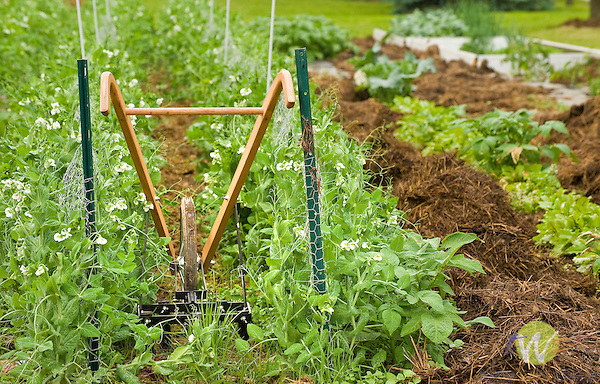 Hand row cultivator in garden with peas..