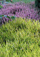 Heather Callluna vulgaris Beoley Gold yellow foliage and rear pink Calluna vulgaris 'Rosea'