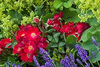 Roses Rosa 'Suffolk' = 'Kormixal' (S/GC) groundcover red rose, Alchemilla mollis, Euphorbia, lavandula(yellow)