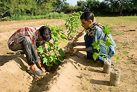 Workers planting Jatropha curcas in sand