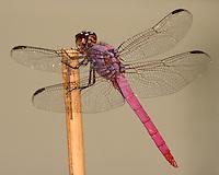 The Roseate Skimmer (Orthemis ferruginea)