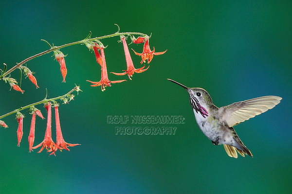 Calliope Hummingbird (Stellula calliope), male feeding on Scarlet Gilia (Ipomopsis aggregata)., Gila National Forest, New Mexico, USA