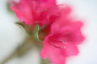 Close up of azalea flower. Oregon