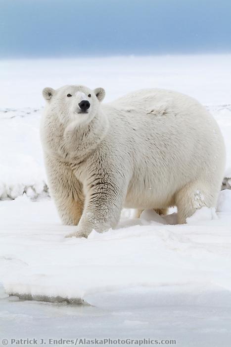 Polar bear in the snow on an island in the Beaufort Sea on Alaska's arctic coast.