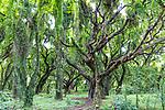 The forest jungle at Honolua Bay on the island of Maui, Lahaina, HI, USA