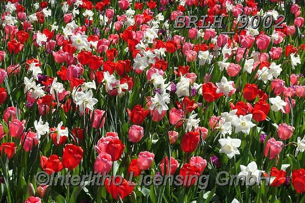 Luiz, FLOWERS, BLUMEN, FLORES, photos+++++,BRLH9002,#f#, EVERYDAY ,tulips ,allover