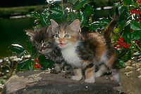 Two kittens-- calico and tabby enjoying the sun and cracking jokes among the holly berries