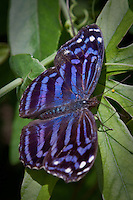 The Mexican Bluewing (Myscelia ethusa) butterfly is a large, blue striped neotropical butterfly found in the Lower Rio Grande Valley of Texas. Thier Wing sapn is 2 1/2 to 3 inches and range from Columbia north to Mexico and up to the Rio Grande Valley, Texas.<br /> <br /> Males and females look similar, however, male wings tend to be a darker color with less white spots at the wing edges.