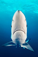 Blue Shark, Prionace glauca, close up with a good view of both eyes and the surface and dark blue background, offshore, Cape Point, Cape Town, False Bay, South Africa, Atlantic Ocean, Indian Ocean